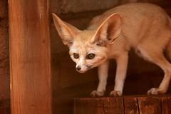 I'm a tiger (peet-astn) Tags: fennec fox fennecfox southafrica rhinoandlionnaturereserve johannesburg ears eyes face