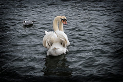 Swiss Love (Alex M. Wolf) Tags: lake swimming swim swan fuji zurich romance swans zrich schwan schwne zurigo romanze alexmwolf xe2s