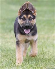 German shepherd puppy (mplonsky) Tags: dog puppy ears canine germanshepherd gsd germanshepherddog
