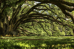 The Other side of the Alley...........  (Explored 5-8-16) (Cajun Snapper) Tags: green naturallight oakalley natureconservancy planetearth liveoaks oakalleyplantation greatriverroad southernliving southlouisiana treecanopy