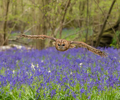 Tawny Owl flying over bluebells (Strix Aluco) (Steven Whitehead) Tags: flowers blue trees tree bird nature birds bluebells canon woods feeding feathers owl birdofprey tawny strix 2016 aluco canon1dx