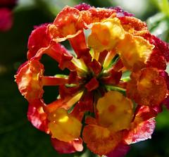Lantana (ri Sa) Tags: plant flower finland helsinki indoor lantana