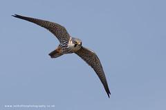 Hobby (ian hufton photography) Tags: bird kent wildlife hobby raptor birdofprey ianhufton