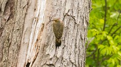 7K8A1662 (rpealit) Tags: mountain bird nature scenery wildlife management area sparta common flicker