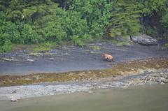 Bear sighting on Oceania Alaskan Cruise (Rob.Bertholf) Tags: bear travel cruise nature beauty alaska outdoors natural bears grizzly oceania grizzlybear alaskacruise alaskancruise oceancruise oceaniacruises