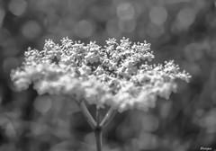 focus. (moniquevantorenburg) Tags: blackandwhite flower focus zwartwit bokeh thenetherlands depthoffield fragile bloem roosendaal elderberry vlierbes olympus124028