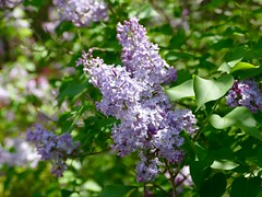 Lilacs in my garden (lovesdahlias 1) Tags: flowers nature gardens spring blossoms newengland shrubs lilacs