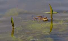 2016-05-06 - 15.48.28 - _L5B2463 - 1 (Rossell' Art) Tags: pad frog toad sapo rana frosch grenouille kikker rano bufo r krte crapaud  rospo doodebemde batracien