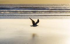 keep it low (krllx) Tags: africa beach bird essaouira light lights marokko morocco nature ocean sand sea seagull solnedgang sundown sunset water dsc03728201603071
