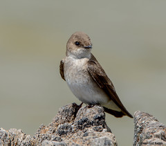 Northern Rough-winged Swallow (Summerside90) Tags: birds birdwatcher northernroughwingedswallow may spring nature wildlife portburwell ontario canada