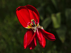 Verblht (diarnst) Tags: red summer flower rot outdoor sommer panasonic tulip blume tulpe gx8