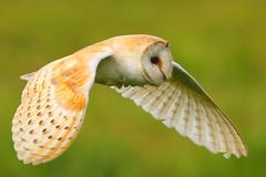 Fly-By (jammo s) Tags: bird nature closeup flying wildlife hunting owl barnowl birdofprey tytoalba canonef400mmf56lusm canoneos80d