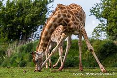 Long way down (wellsie82) Tags: portrait nature closeup canon outdoors eos cumbria giraffe safaripark zoology 6d jasonwells animalportrait barrowinfurness southlakeszoo giraffacamelopardalisperalta nigergiraffe westafricangiraffe wellsie82 wwwjasonwellscouk jasonwellscouk nigeriangiraffe