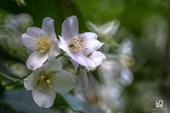 ARANCIO (Lace1952) Tags: primavera fiori fioritura petali pistilli fioridarancioluce sfocato bokeh nikond5300 rubinar300mmf45