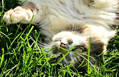 Pawfully Playful (TheCozyEscape) Tags: white green eye look grass animal cat fur outside grey paw eyes play outdoor gray stare peek cateyes playful cateye