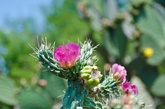 cactus flower (hey tiffany!) Tags: travel cactus mexico sanmigueldeallende elcharcodelingenio