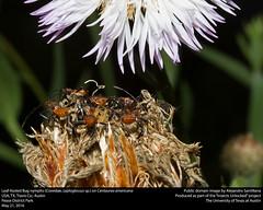 Anglų lietuvių žodynas. Žodis centaurea americana reiškia <li>centaurea americana</li> lietuviškai.