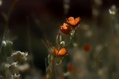 Desert life. Poppies. (fmoth22) Tags: nature desert poppies
