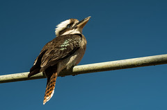 Jackass (OzzRod) Tags: birds fauna pentax sydney kookaburra jackass k50 autotakumar35mmf23