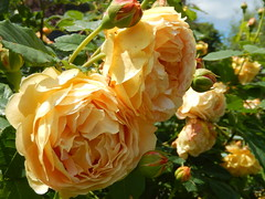 (Landanna) Tags: flowers nature rose yellow natur natuur blomst geel rozen gul bloem roser