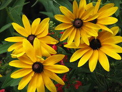 Gloriosa Daisy (AmyWoodward) Tags: flower fantastic rudbeckia gloriosadaisy fantasticflower