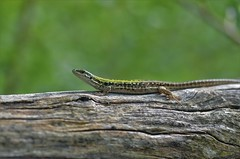 lucertola (ecordaphoto) Tags: macro nature animal nikon natura lizard dx lucertola rettile d5100