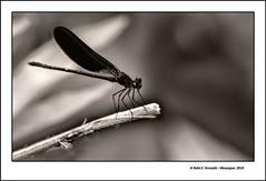 Mascle de Calopteryx Haemorrhoidalis (Male Mediterranean Demoiselle)  Naixement del  Vinalop, Banyeres de Mariola, l'Alcoi, Alicante, Spain (Rafel Ferrandis) Tags: mascle parotet banyeres vinalop bn eos7dmkii ef100400mmf4556lii