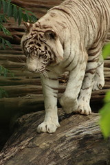 White Tiger on Log (iamdeertail) Tags: zoo cincinatti lion lioness tiger tigeress monkey monkeys tree nap napping naps laying tail african cat big carnivore herbivore omnivore mammal reptile amphibian bird fish pounce fossa train leaf leaves squirrel post july