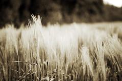 sepia corn (Frau Koriander) Tags: plants plant nature sepia germany landscape deutschland dof hessen outdoor natur grain pflanzen tones cereals kornfeld getreide gerste weizen roggen hren getreidefeld reinheim reinheimerteich darmstadtdieburg cornfeld nikond300s sprachbrcken