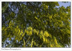 Laburnum Tree (Paul Simpson Photography) Tags: england tree nature leaves blossom bluesky yellowflower photosof imageof photoof laburnumtree imagesof sonya77 paulsimpsonphotography june2016 natuaralworld
