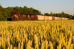 Field of Gold (Ryan J Gaynor) Tags: railroad train photography countryside country railway trains transportation canadianpacific cp railfan goldenhour farmfield railroading canon7d goldenrodent