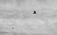 In Flight (dwight g) Tags: birds canon flight ps topaz 50d