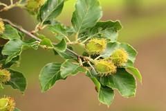 Beech Tree Fruit (gripspix (OFF)) Tags: 20160605 nature natur plant pflanze beech buche frchte fruit unripe unreif