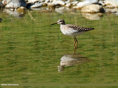 Wood Sandpiper (Tringa glareola) (gilgit2) Tags: pakistan birds fauna canon geotagged wings wildlife feathers tags location species tamron category avifauna tringaglareola ghizer woodsandpipertringaglareola gilgitbaltistan imranshah canoneos7dmarkii gahkuch tamronsp150600mmf563divcusd gilgit2