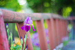 No one ever injured their eyesight by looking on the bright side. (Sandra H-K) Tags: iris flower nature fence outside outdoors flora pretty dof bokeh depthoffield dreamy hff fencefriday