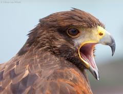 Parabuteo unicinctus (Glenn van Windt) Tags: bird nature natuur aves buzzard birdofprey vogel buizerd woestijnbuizerd roofvogel harrisshawk parabuteounicinctus canonef300mmf28lisusm