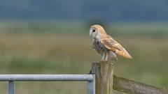 Barn Owl (image 2 of 3) (Full Moon Images) Tags: bird nature barn wildlife bcn reserve national owl trust prey fen cambridgeshire birdofprey woodwalton nne greatfen