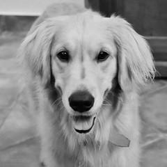 Blues in black and white (Fer-B.) Tags: blackandwhite bw dog goldenretriever blues mascotas
