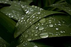 ail (martinmenard757) Tags: green plante nikon martin vert garlic ail menard savage sauvage
