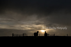 Horse silhouette (Diva Dog Photography) Tags: equine farm sunset silhouette horse saskatchewan horses