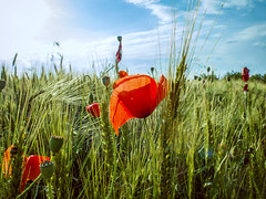 Wild Poppies (Alex Demich) Tags: flowers blue red wild summer sky plants sun white flower green nature field clouds landscape evening countryside shine cloudy outdoor wheat poppy poppies agriculture outskirts