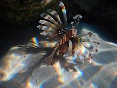 DSCN8860nxunderw (tihoslic3) Tags: rainbow underwater redsea lionfish slicomir3 eg2016