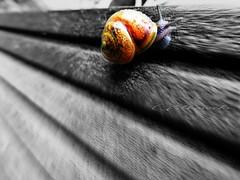 Slow motion  movie (broombesoom) Tags: summer speed fence germany deutschland sommer snail t zaun allemagne escargot schnecke vitesse clture summerfeeling snailspeed selectivecolours sommergefhl summer2016 sommer2016 t2016 schneckengeschwindigkeit escargotvitesse