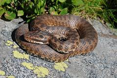Vipera berus (aspisatra) Tags: vipera berus marasso vipre adder serpente ticino snake viper