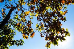 Luz (martinnarrua) Tags: nikon nikond3100 argentina amateur entre ros concepcin del uruguay afs3518gdx 35mm f18 rbol rboles tree tres otoo autumn hojas hoja leaf leaves nature naturaleza sol soleado sun sunny day