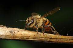 Bee (-denju-) Tags: macro insect diy flash handheld makro insekt diffuser biene photomacrography raynoxdcr250 nikond90 tamron60mm meikemk320