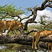 Lions in a Tree 11-22