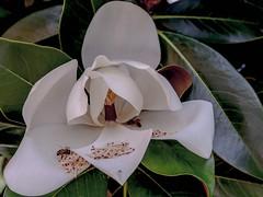 offerta (conteluigi66) Tags: luigiconte magnolia fiore stami api ape nettare petalo petali offrire offertra pianta albero natura naturale