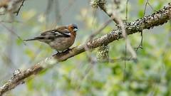 Pinson des arbres (pcaze81) Tags: sigma150500mmf63 pinsondesarbres oiseau canoneos550d corrze plateaudemillevache commonchaffinch fringillacoelebs fringillids passriformes bird