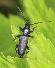 Larch Longhorn Beetle - Tetropium gabrieli (Prank F) Tags: uk macro nature closeup insect wildlife beetle longhorn rutland larch ketton wildlifetrust cerambycidae lrwt kettonquarry tetropiumgabrieli